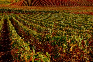 Vignobles de Champagne - photo vainsang